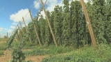 Yakima Valley Prepares for it's 14th Annual Fresh Hop Ale Festival