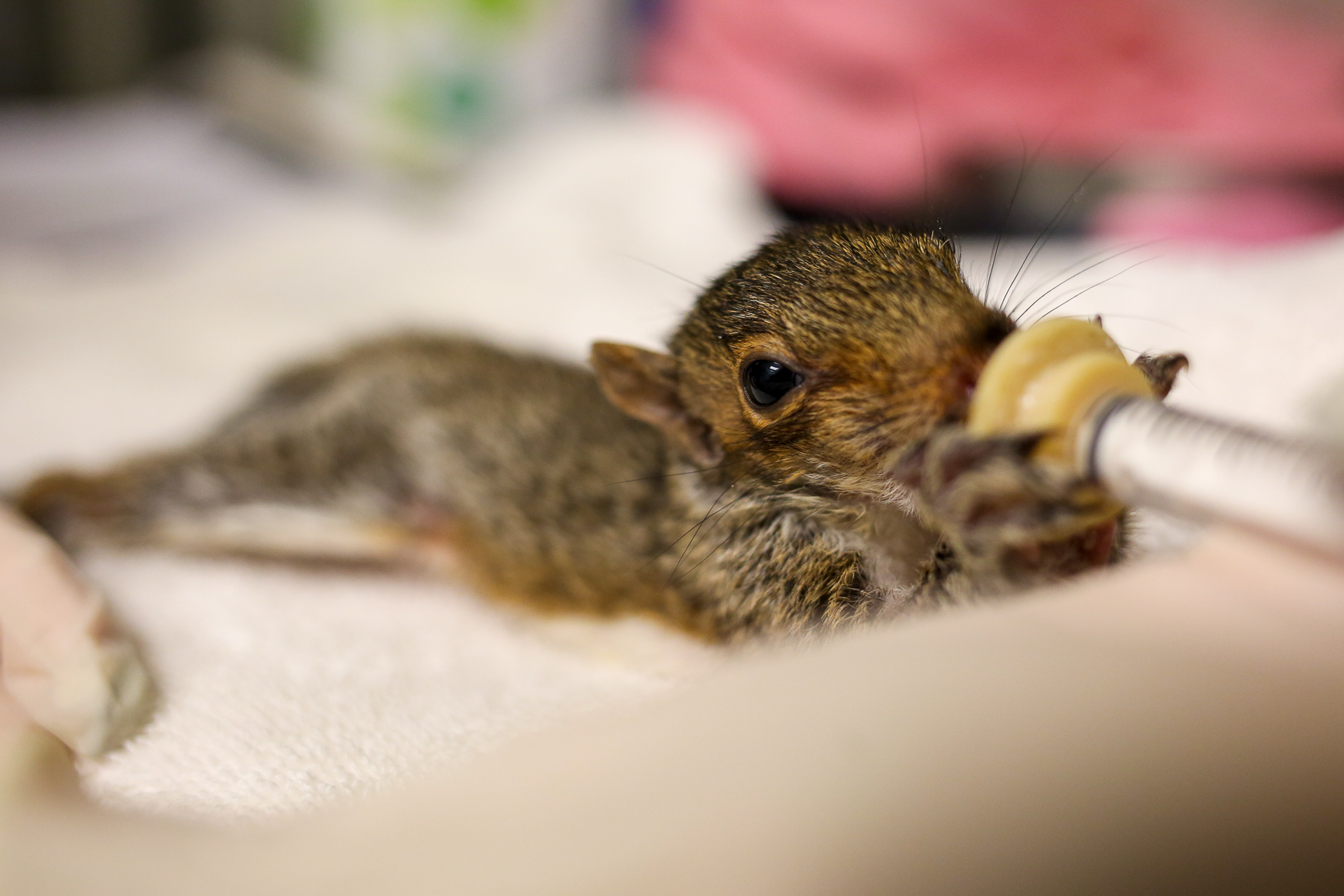 Executive director{ }Paula Goldberg said that City Wildlife gets a lot of orphaned or abandoned squirrels during the summer, but that they're typically released the week after Thanksgiving.{ }(Amanda Andrade-Rhoades/DC Refined)