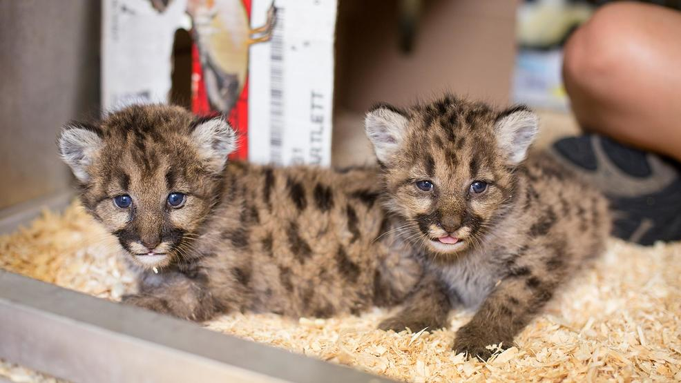 three female cougar cubs are making a new home at the toledo zoo in ohio after the washington state department of fish and wildlife reached out to find the